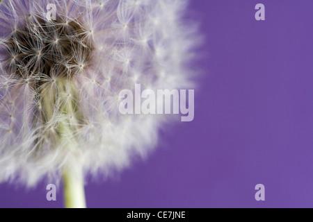 Dandelion clock, Taraxacum officinale, White, Purple. - Stock Photo