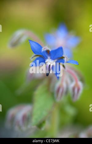 Borage, Borago officinalis, Blue. - Stock Photo