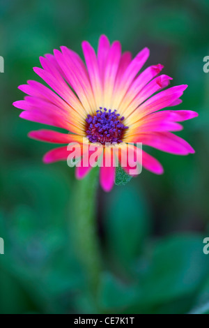Lampranthus, Lampranthus cultivar, Pink, Green. - Stock Photo