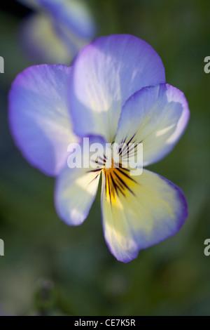 Viola, Viola 'Sorbet Ocean Breeze', Blue. - Stock Photo