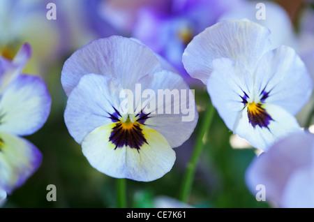Viola, Viola 'Sorbet Ocean Breeze', White. - Stock Photo
