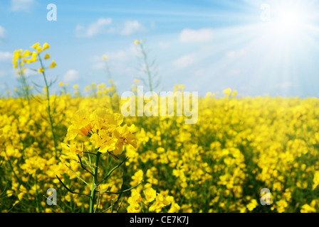 Canola stem closeup with the field at background - Stock Photo