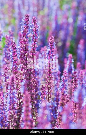 Sage, Salvia nemorosa 'Ostfriesland', Massed purple flower spikes. - Stock Photo