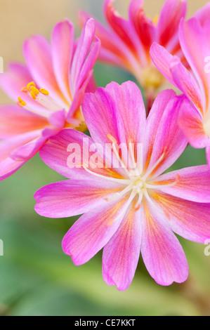 Vivid pink flowers of Lewisia cotyledon 'Regenbogen'. - Stock Photo