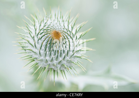 Spiky flower head of Onopordum acanthium, Scotch or Cotton thistle against a green background. - Stock Photo