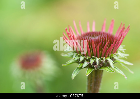 Close-up of purple flower petals of Echinacea purpurea 'Rubinglow' coneflower. - Stock Photo