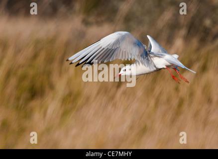 Common gull (Larus canus) - Stock Photo