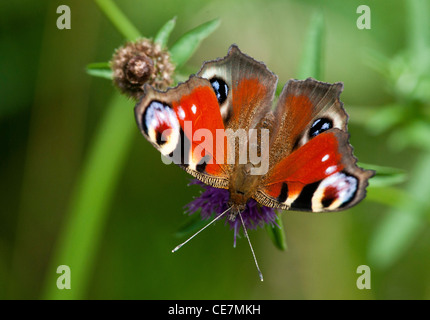 European Peacock butterfly (Aglais io) - Stock Photo