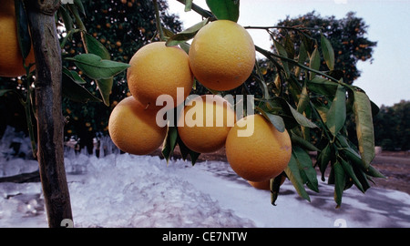 Frozen Valencia oranges on trees after a pre-Christmas freeze in the Tulare County California. - Stock Photo