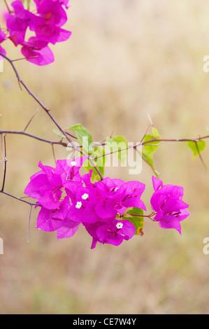 Bougainvillea spectabilis. Great bougainvillea Small white flowers and purple bracts. India - Stock Photo