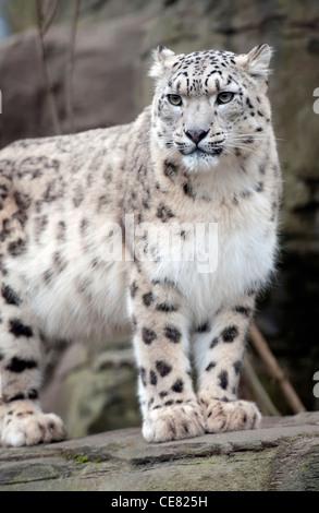 Female snow leopard - Stock Photo