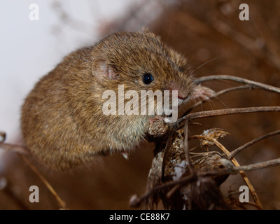 The common vole on a plant - Stock Photo