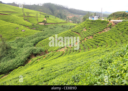 Sri Lanka, Central Province, south of Kandy, Inverness estate, Nuwara Eliya, tea plantation - Stock Photo