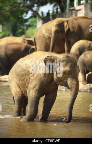 Elephants in Sri Lanka, Pinnewela Elephant orphanage, Pinnewala Elephant Sanctuary - Stock Photo