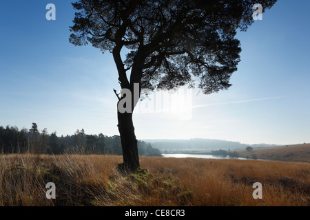 Lone Pine Tree on North Hill in The Mendip Hills. Somerset. England. UK. - Stock Photo