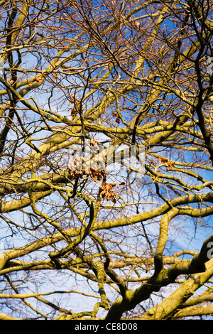 Fagus sylvatica in Winter. Winter sunlight on the branches of a Beech tree. - Stock Photo