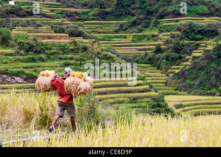 farmers are carrying bundles of harvested rice over shoulder, in philippines - Stock Photo