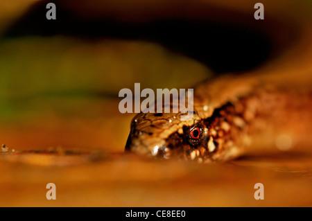 Slow worm (Anguis fragilis) close up, the Netherlands - Stock Photo