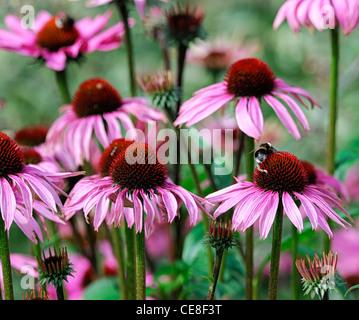echinacea purpurea magnus pink flowers blooms blossoms closeups close-ups ups colours colors pink flowers flowering - Stock Photo