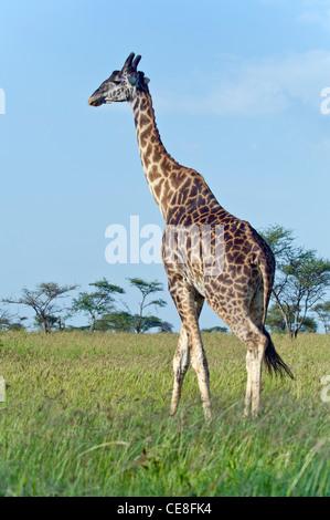 Uganda Giraffe Giraffa camelopardalis rothschildi at Seronera in Serengeti, Tanzania - Stock Photo