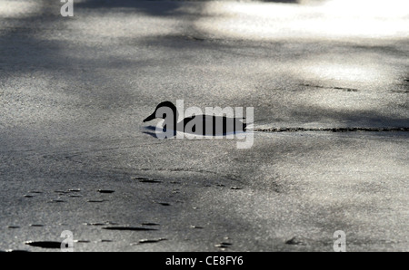 Adult Mallard duck swimming through a polluted river - Stock Photo