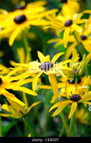rudbeckia fulgida var sullivantii goldsturm rudbeckias coneflowers bright yellow black centres flowers blooms blossoms