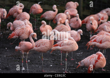 Greater flamingos - Stock Photo