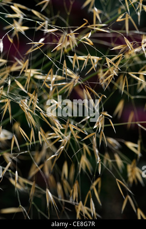 Stipa gigantea giant feather grass seeds backlit sunlight for Giant ornamental grass