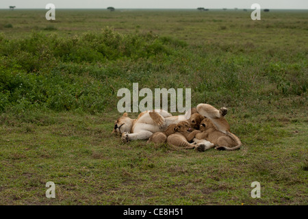Lioness laying on the plains of the Serengeti, Tanzania feeding her four cubs - Stock Photo
