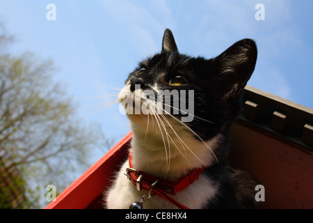Side portrait of a tuxedo black and white cat. - Stock Photo
