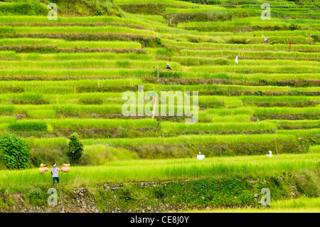farmer is working in rice field, philippines. - Stock Photo