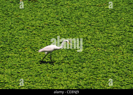 AHP 80123 : indian Bird Large Egret looking for feed in pond covered with green leaves   Casmerodius albus   india - Stock Photo