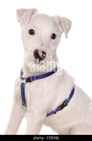 Jack russell Single puppy sitting in a studio UK - Stock Photo
