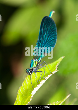 Beautiful Demoiselle, Calopteryx virgo, portrait of blue male perched on a leaf. - Stock Photo