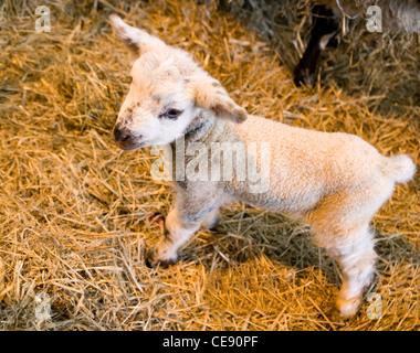Sheep Single lamb standing on straw UK - Stock Photo