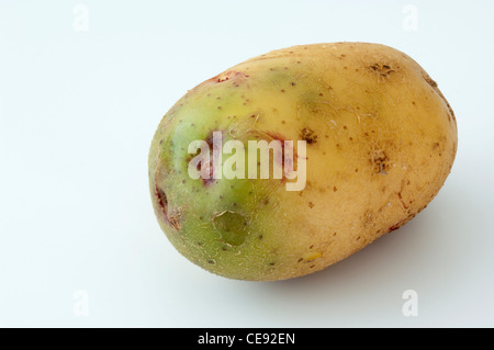 Potato (Solanum tuberosum), variety: Quarta. Tubers, one of them with green sections due to exposure to light - Stock Photo