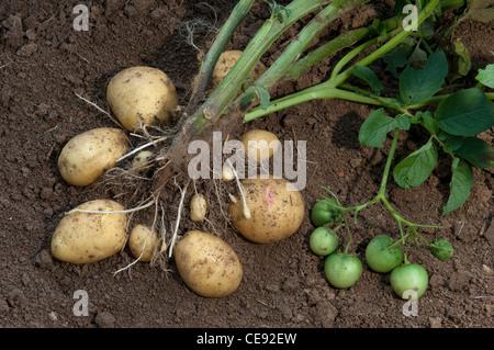Potato (Solanum tuberosum Quarta). Plant with tubers and green fruit. - Stock Photo