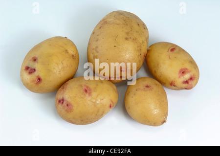 Potato (Solanum tuberosum), variety: Quarta. Washed tubers, studio picture against a white background. - Stock Photo
