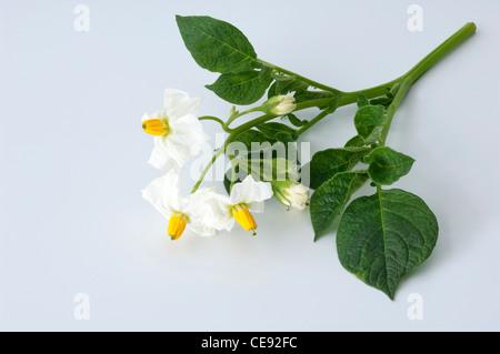Potato (Solanum tuberosum Quarta). Flowering twig. Studio picture against a white background. - Stock Photo