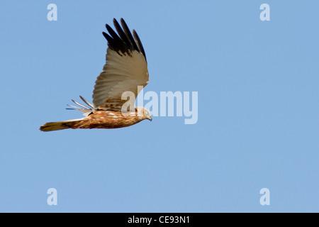 male Marsh Harrier (Circus aeruginosus) flying against blue sky - Stock Photo