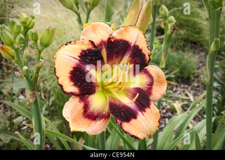 beautiful orange and red daylily growing in a garden - Stock Photo
