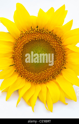 Sunflower against a white background - Stock Photo