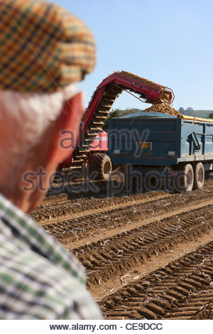 Farmer watching potatoes being emptied into trailer in sunny, rural field - Stock Photo