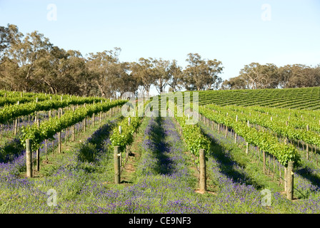 Rows of Grapevines in a vineyard on the Southern Highlands of New South Wales, Australia - Stock Photo