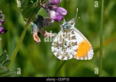 Orange-Tip butterfly ('Anthocharis cardamines') - Stock Photo