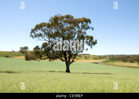 A lone tree in a paddock in farmland near Cootamundra in New South Wales, Australia - Stock Photo