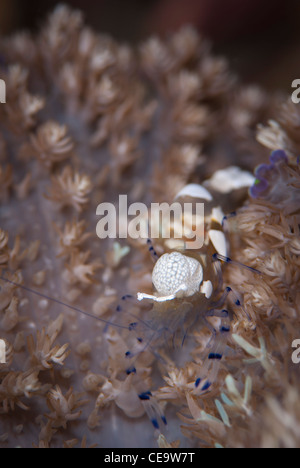 A Peacock-Tail Anemone Shrimp from Bunaken National Park North Sulawesi Indonesia - Stock Photo