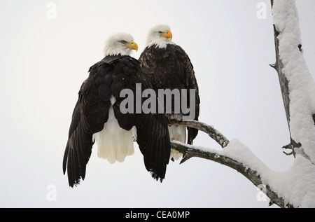 Two eagles ( Haliaeetus leucocephalus ) sit on the dried up tree - Stock Photo