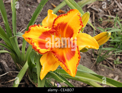 beautiful orange and yellow daylily growing in garden - Stock Photo