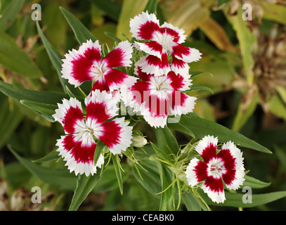 Beautiful Bunch Of Small Red And White Flowers Growing Together In